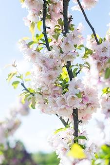 Roze appelboom bloemen in een tak met blauwe hemelachtergrond