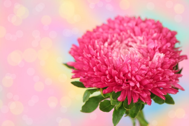 Roze aster