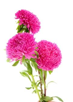 Roze asterbloemen, die op wit worden geïsoleerd
