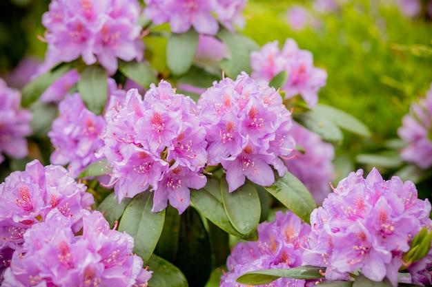 Roze azalea achtergrond. roze azaleaachtergrond. rododendrons in bloempotten in oude serre. rij van bloeiende planten binnenshuis. mooie bloesem bloemen concept. rij van bloeiende rododendrons