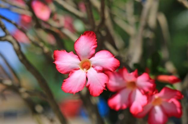 Roze azalea-bloemen in de zomertuin