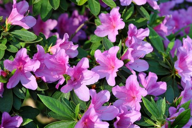 Roze azalea bloemen