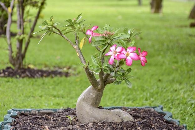 Roze azalea bloesems bloeien