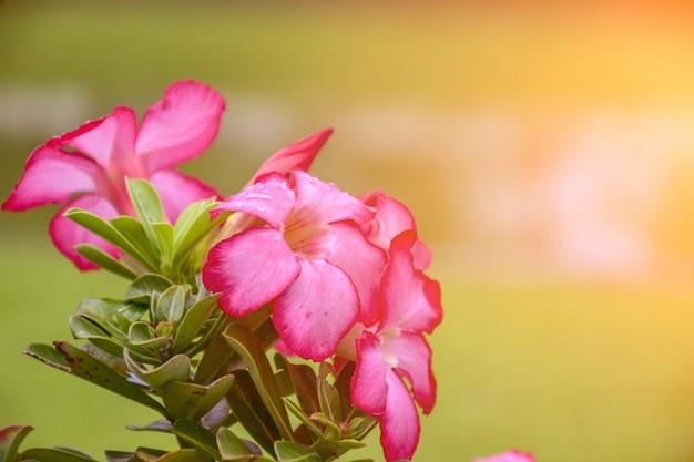 Roze bignonia-bloemen of adenium-bloem
