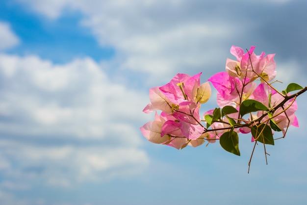 Roze bloeiende bougainvilleas tegen de blauwe hemel