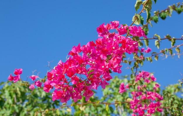 Roze bloeiende bougainvilles.