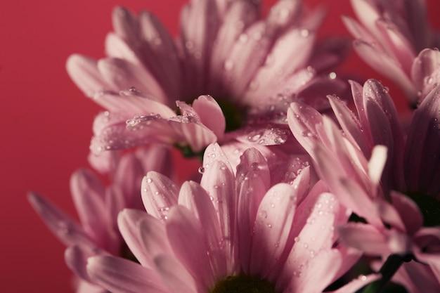 Roze bloeiende chrysantenbloemen met een vage ruimte
