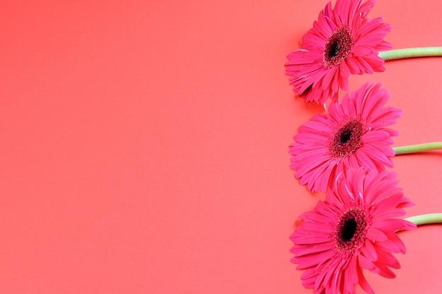 Roze bloeiende gerberabloemen op de roze close-up als achtergrond, exemplaarruimte. mooi wenskaartontwerp, plat lag.