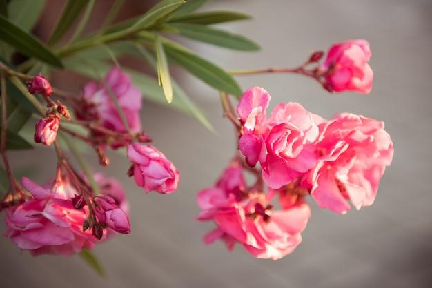 Roze bloeiende oleander bloemen op grijs