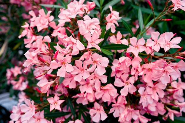 Roze bloeiende phlox bush close-up