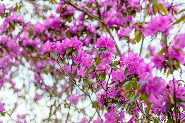 Roze bloeiende rododendron, selectieve focus