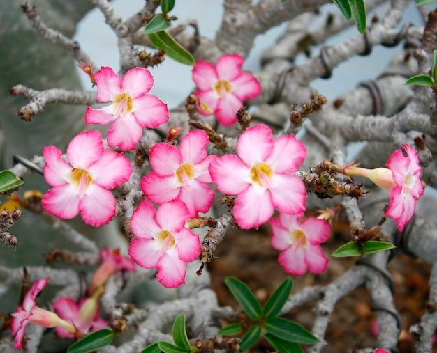 Roze bloem, adenium obesum boom, desert rose, impala lily