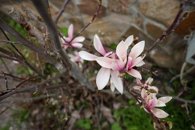 Roze bloem bloeit in de lente in de tuin