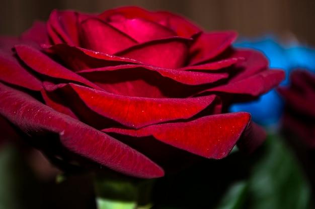 Roze bloem close-up de roos