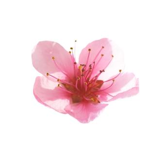 Roze bloem geïsoleerd op een witte achtergrond. macro-opname