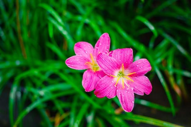 Roze bloem, grandiflora zephyranthes op aardachtergrond.