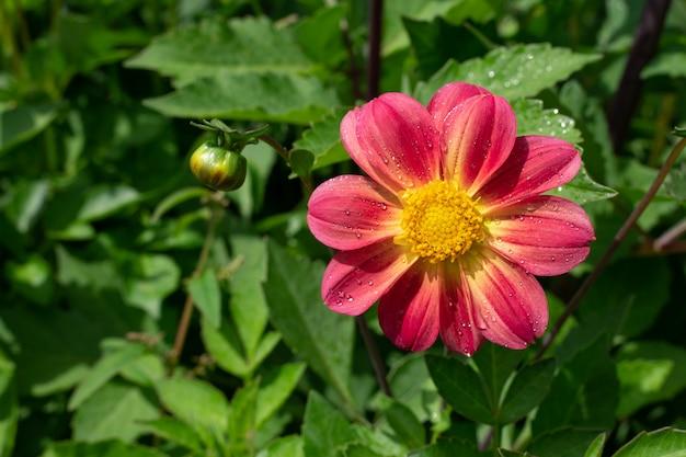 Roze bloem in de tuin
