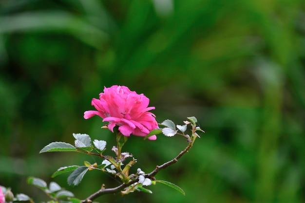Roze bloem met onscherpe achtergrond