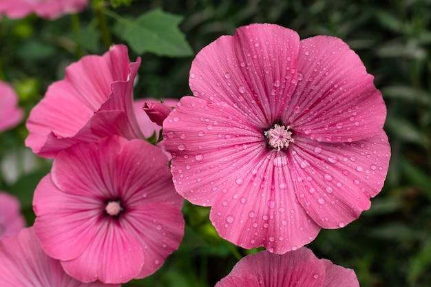 Roze bloem met regendruppels in de tuin