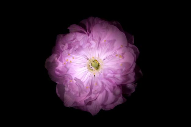 Roze bloem met ronde bloemblaadjes zoals petunia geïsoleerd op zwarte achtergrond