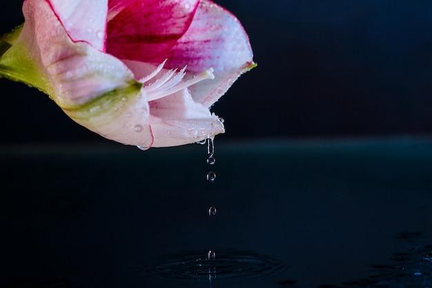 Roze bloem met waterdalingen over donkerblauwe achtergrond.