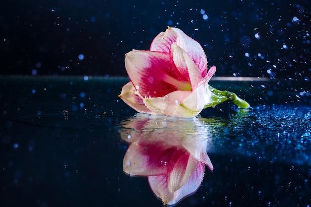 Roze bloem met waterdruppels over donkerblauwe muur