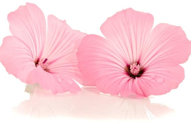 Roze bloem op wit