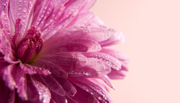 Roze bloem van aster met druppels dauw op een lichtrose achtergrond. plaats voor tekst. mooie artistieke macrofoto.