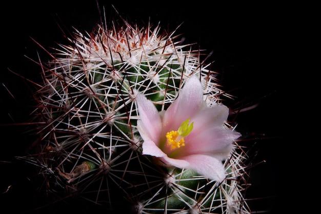 Roze bloem van mammillaria-cactus in bloei