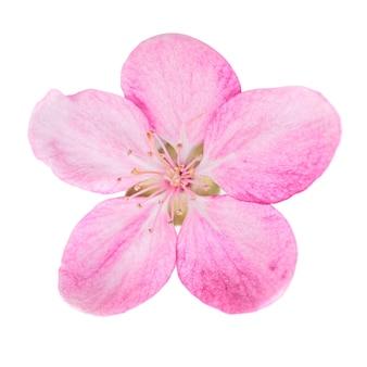 Roze bloem van sakura boom geïsoleerd op een witte achtergrond. macro close-up studio opname