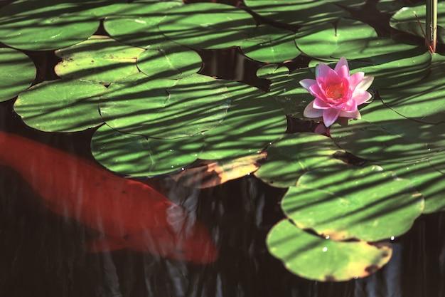 Roze bloem waterlelie tussen bladeren in een japanse vijver