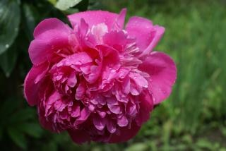 Roze bloem, zomer