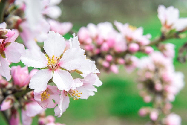 Roze bloemen, amandelboomtak die in het voorjaar tot bloei komt