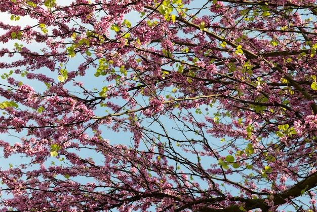 Roze bloemen bloeien in de lente