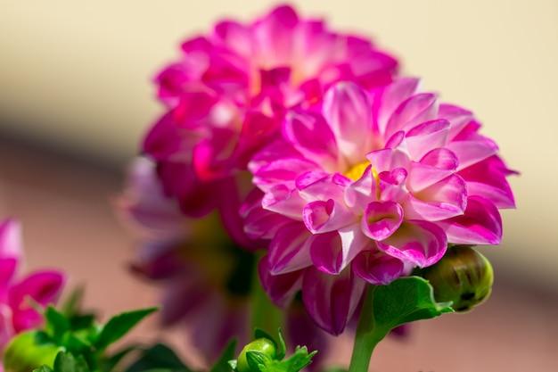 Roze bloemen in de tuin. zomer.