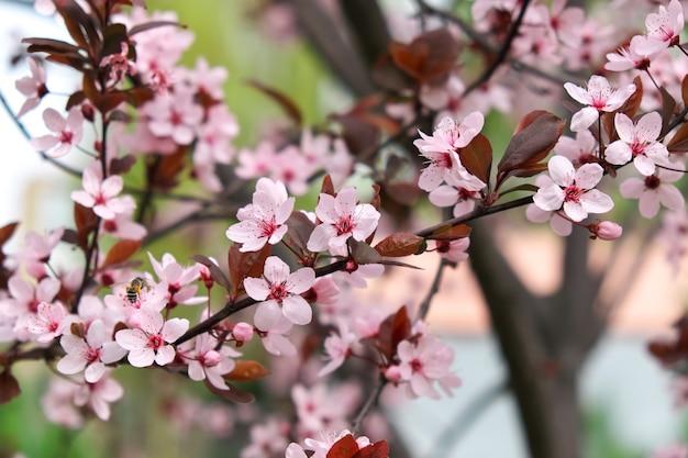Roze bloemen op een boom. kersenbloesem in het park. zonnige lentedag