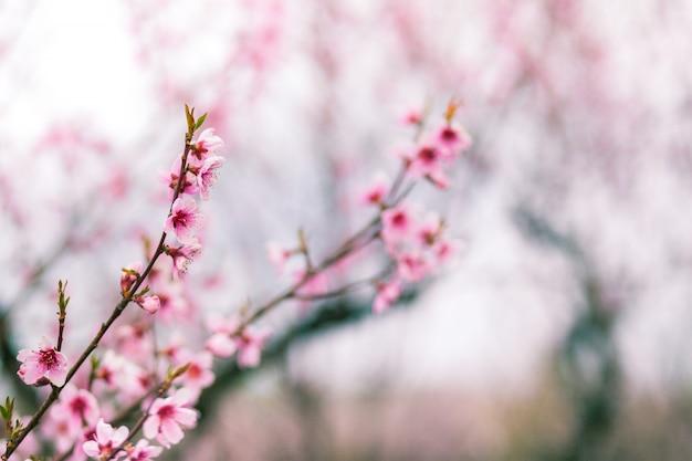 Roze bloemen op een perzikboomclose-up