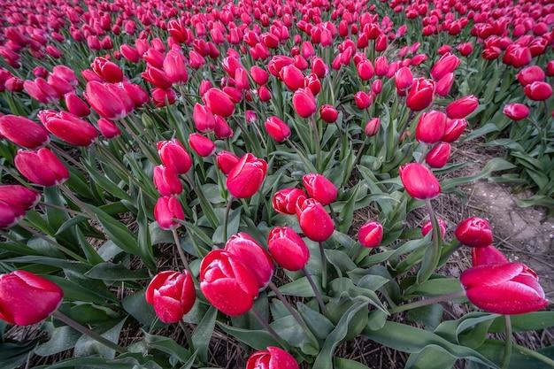 Roze bloemen overdag naast elkaar