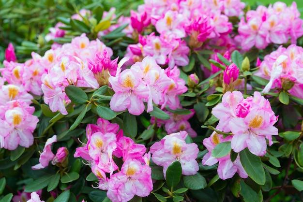 Roze bloemen rhododendron azalea bloemen