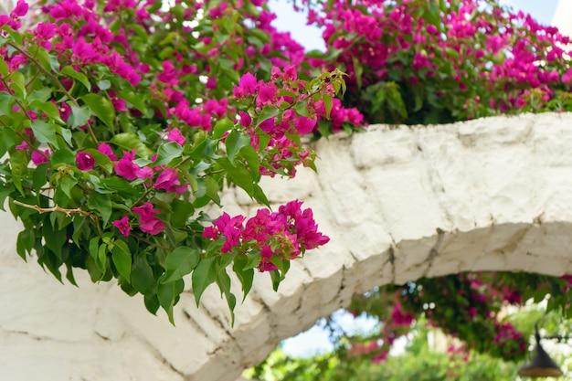 Roze bloemen van bloeiende bougainvillea op witte bakstenen boogmuur