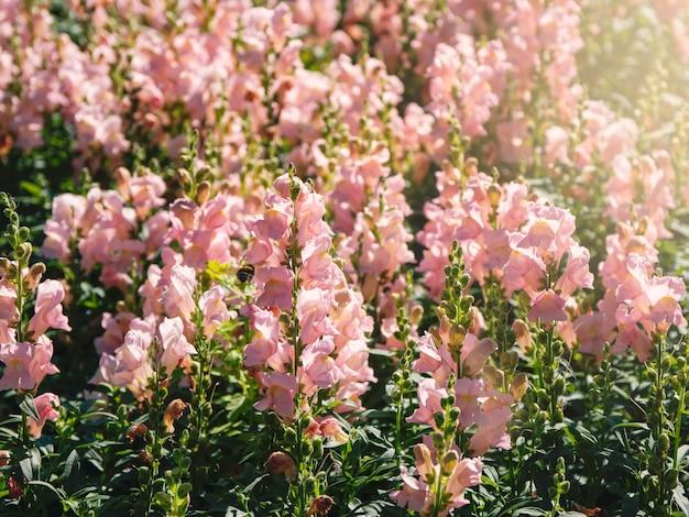 Roze bloemen van leeuwebek (antirrhinum majus) op het bloembed