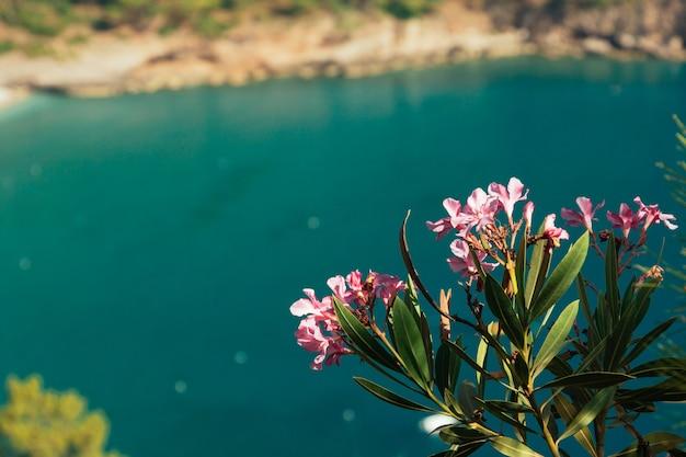 Roze bloemen van oleander turquoise zee