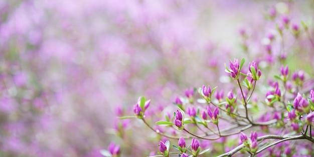 Roze bloemen van rhododendron mucronulatum. idyllisch patroon met prachtige bloeiende koreaanse rododendron voor website achtergrond of wenskaart. kopieer ruimte. banner