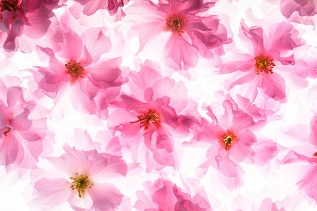 Roze bloemen van sakura als een achtergrond