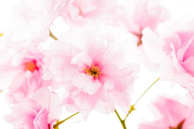 Roze bloemen van sakura geïsoleerd op wit