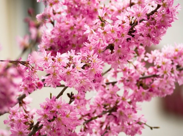 Roze bloemen van sakuraboom natuurlijke achtergrond van kersenbloesem