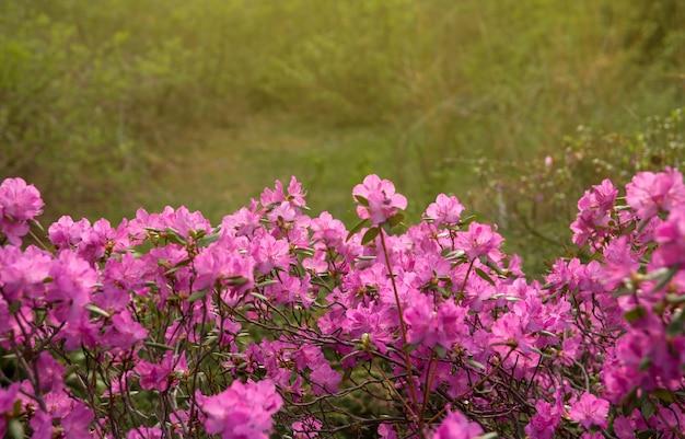 Roze bloemen van siberische rododendron kopie ruimte. rhododendron ledebourii. lente bloei van altai rododendron.