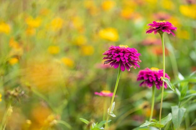 Roze bloemenkosmos bloeien prachtig in de tuin van de natuur