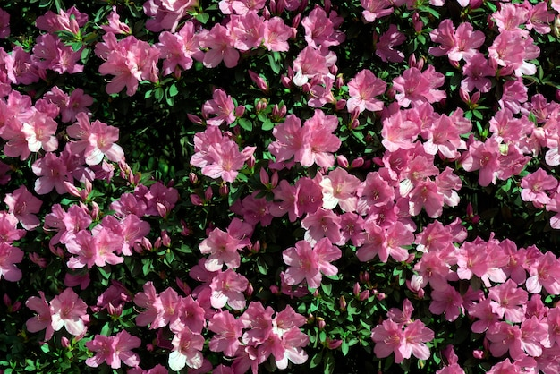 Roze bloemenmuur gevormd door bloei van rododendron