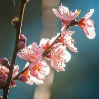 Roze bloesems bloemen